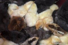 De gemengde oude kuikens van de rassendag stock afbeelding