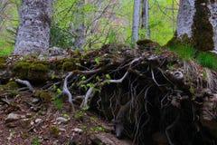 De gemengde stok van de bomenwortels van Greenwood bos, bemoste uit groun Royalty-vrije Stock Fotografie