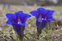 De gentianen van de trompet (gentiana clusii) Stock Fotografie