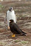 De Gentoopinguïn kijkt nieuwsgierig aan een caracaravogel Royalty-vrije Stock Foto