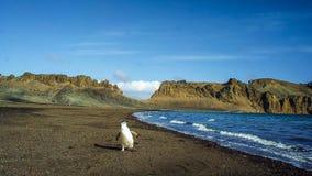 De gentoopinguïn met lange staart is een pinguïnspecies in de soort Pygoscelis, Antarctisch Schiereiland, Antarctica royalty-vrije stock foto