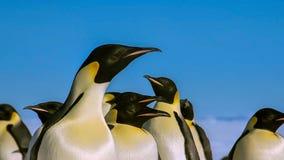 De gentoopinguïn met lange staart is een pinguïnspecies in de soort Pygoscelis, Antarctisch Schiereiland, Antarctica stock foto