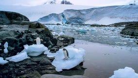 De gentoopinguïn met lange staart is een pinguïnspecies in de soort Pygoscelis, Antarctisch Schiereiland, Antarctica royalty-vrije stock afbeelding