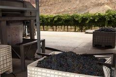 De geoogste Druiven van de Wijn Stock Afbeeldingen