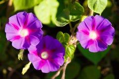 De geopende bloemen van purpere winde dragen bij als achtergrond Royalty-vrije Stock Afbeelding