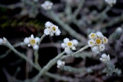 De Gepoederde koolbloemen het gezonde ` s die zeer goed regenen het bloeien vindt plaats royalty-vrije stock afbeeldingen