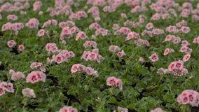 De geranium bloeit close-up Bloeiende geranium in een grote moderne serre Bloeiende geraniums in potten Heel wat het bloeien stock videobeelden