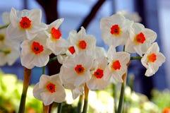 De Geranium van de gele narcis, Narcissen Tazetta Royalty-vrije Stock Afbeeldingen