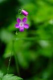 De geranium van de weide (Geranium pratense) Stock Foto's