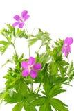 De geranium van de weide (sylvaticum van de Geranium) Stock Afbeeldingen