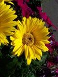 De Gerbera de fin verticale jaune - Image libre de droits