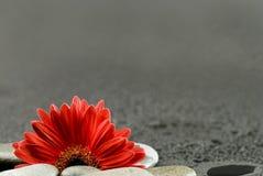 De gerbera de fleur toujours durée rouge photographie stock libre de droits
