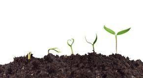 De germinatie en de groei van de installatie Royalty-vrije Stock Foto's