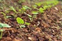 De germinatie is het nieuwe leven van groene zaailingen Stock Foto's