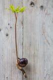 De germinatie van de Conkerboom Royalty-vrije Stock Afbeeldingen