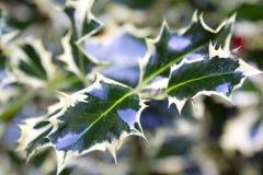De geschakeerde bladeren van de hulststruik Stock Foto's