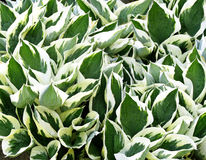 De geschakeerde groene en witte bladeren van Hosta planten - een tuinfavoriet Stock Afbeeldingen