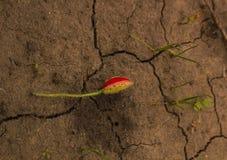De gescheurde bloem van de knop rode papaver op de gebarsten droge bruine aarde De bloem hoogste mening van de oogstpapaver Royalty-vrije Stock Foto