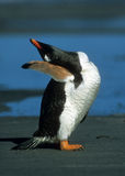 De geschiktheid van de pinguïn Stock Foto's