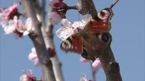 De geschilderde Damevlinder zoogt nectar van abrikozenbloesem stock videobeelden