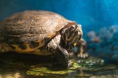 De geschilderde gekweekte zitting van schildpad chrysemys picta op rots die in recente ochtendzon zonnebaden in zoet watervijver stock afbeeldingen