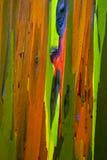 De geschilderde Schors van de Eucalyptusboom Stock Foto's