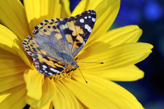 De geschilderde vlinder van de Dame stock afbeeldingen