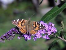 De geschilderde vlinder van de Dame Stock Foto's