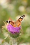 De geschilderde vlinder van de Dame Stock Foto