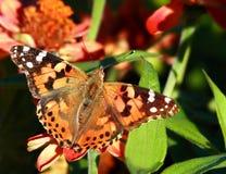 De geschilderde vlinder van de Dame Royalty-vrije Stock Fotografie