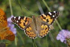 De geschilderde vlinder van de Dame (cardui van Vanessa) Stock Afbeeldingen