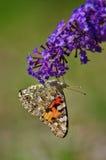 De geschilderde vlinder van de Dame, cardui van Vanessa Royalty-vrije Stock Afbeelding