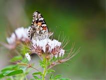 De geschilderde vlinder van de Dame (cardui van Vanessa) Royalty-vrije Stock Afbeelding