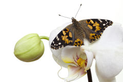 De geschilderde vlinder van de Dame met open vleugels Stock Afbeelding