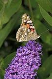 De geschilderde vlinder van de Dame op davidii Buddleja Stock Foto