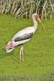 De geschilderde Vogel van de Ooievaar Stock Afbeeldingen