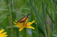 De geschilderde zitting van de damevlinder op een gele bloem Stock Afbeelding