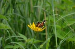 De geschilderde zitting van de damevlinder op een gele bloem Stock Fotografie