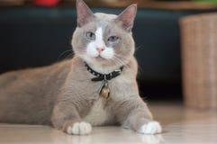 De gesloten omhoog grijze kat zit op een vloer Stock Foto's