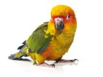 De geïsoleerde vogel van zonconure Stock Foto
