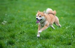 De gesprongen hond van shibainu Royalty-vrije Stock Afbeelding