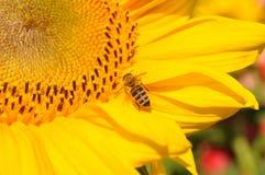 De gestreepte bij bestuift heldere zonnebloem stamens close-up Kleine bij die geel stuifmeel voor het maken van honing verzamelen royalty-vrije stock foto's