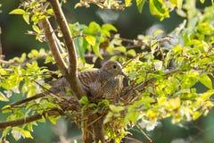 De gestreepte duif maakt nest op de boom Stock Afbeeldingen