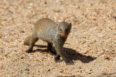 De gestreepte gang van de mongoesbaby alleen over zand Stock Foto's