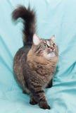 De gestreepte groen-eyed Siberische kat is, met zijn staart Royalty-vrije Stock Fotografie