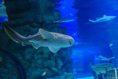 De gestreepte haai zwemt tegen koraal stock foto