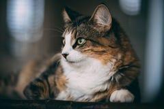 De gestreepte kat en de witte kat leggen bovenop een houten lijst stock foto's
