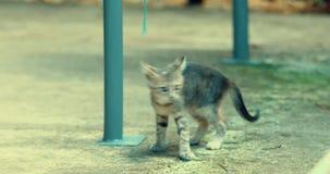 De gestreepte kat kitte speelt alleen stock video
