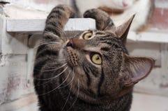 De gestreepte katkat beklimt plank Royalty-vrije Stock Fotografie