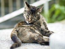 De gestreepte katkat krast een jeuk Stock Fotografie